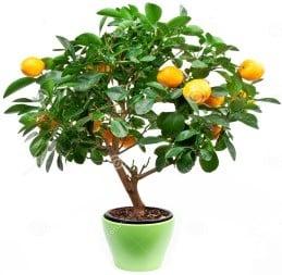 arbol-de-clementino